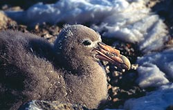 Giant Southern Petrel Chick